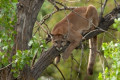A woman in Canada jumped on a young mountain lion and prised its jaws open to rescue her 7-year-old son as he was mauled by the animal in their backyard