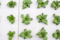 "Scientists made better-tasting basil through ""cyber farming"""
