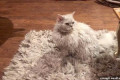 Hide and seek! Curly-haired cat plays tricks on her owner by lounging on a rug that looks EXACTLY like her furry coat