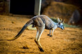 Teen trio charged over brutal attack on kangaroo in Perth Hills
