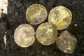 Hoard of more than 550 rare gold and silver 14th century coins worth an estimated £150,000 are dug up by a group of amateur metal detectorists