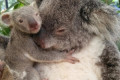 Newborn koala joey survives being transferred to surrogate mum's pouch