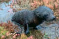 'I've got to save you': Fur seal found on road