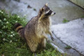 Chicago Area Police Are Warning Pet Owners About 'Zombie Raccoons'