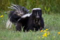 Neighbours raise stink when mail delivery stopped over skunk