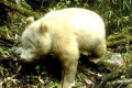 An albino giant panda has been caught on camera for the first time
