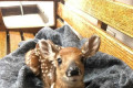 Baby deer saved twice in one week by state troopers
