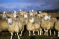 Investigation launched into suspected theft of over 100 sheep from Meath farm