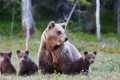 Mother grizzly bear killed by train, then her 2 cubs struck and killed by another train, Montana officials say