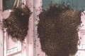 Massive swarm of bees descends on Chapelizod