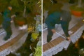 Thief caught on camera stealing pricey Koi fish from California home