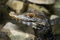 Endangered American crocodiles have found a surprising new home — outside a nuclear power plant