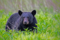 3 black bears hit and killed in Banff in span of a week
