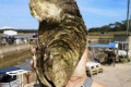 Too much to swallow: giant oyster named