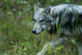Family recalls unusual wolf attack at Banff campground on social media; campground reopens