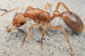 Dinosaur ants with wasp-like stings could save the tiny town of Poochera from extinction