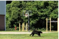 NINE three-legged bears have been spotted limping around North Carolina sparking fears people are leaving out traps for them