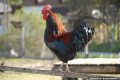 Elderly woman dies after being attacked by a ROOSTER while collecting eggs from her backyard chicken coop - sparking warnings about seemingly harmless pets
