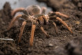 Pole caught in customs web with tarantula haul