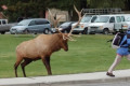 Why Yellowstone is warning tourists about this animal