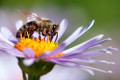Honey Bees Remember Happy and Sad Times, Scientists Discover