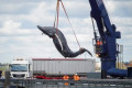 Hessy the humpback whale was a baby GIRL and had been hit by a large SHIP, confirm scientists after heartbreaking scenes as her 32ft carcass was hoisted from the Thames