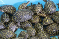 Florida authorities bust trafficking ring smuggling thousands of native turtles