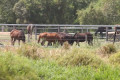 Qld horse abattoir may face criminal probe