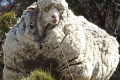 Chris the sheep, made famous by his record-breaking fleece, has died