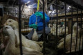 Animal rights activists sue biggest US foie gras distributor