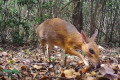 Deer-like animal thought lost to science photographed for first time in 30 years