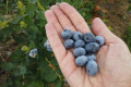 Couple awarded nearly $3M after blueberry crop destroyed at foreclosed farm they bought