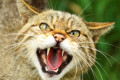 Scottish wildcats to be reintroduced in the Highlands to stave off extinction