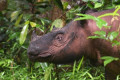 Iman was the last of her kind in Malaysia. The Sumatran rhino is now extinct in the country.