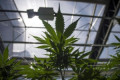 Cannabis sales falter as store openings stall