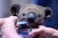 Ellenborough Lewis, the koala whose viral rescue gained worldwide attention, has died, hospital says