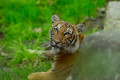 Tiger tests positive for coronavirus at Bronx Zoo, first known case in the world