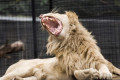 Shoalhaven Zoo lion attack leaves zookeeper in critical condition