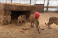 PETA Confiscates 3 Young Lions from Tiger King Subject Jeff Lowe's Zoo